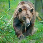brown-bear-on-the-nature
