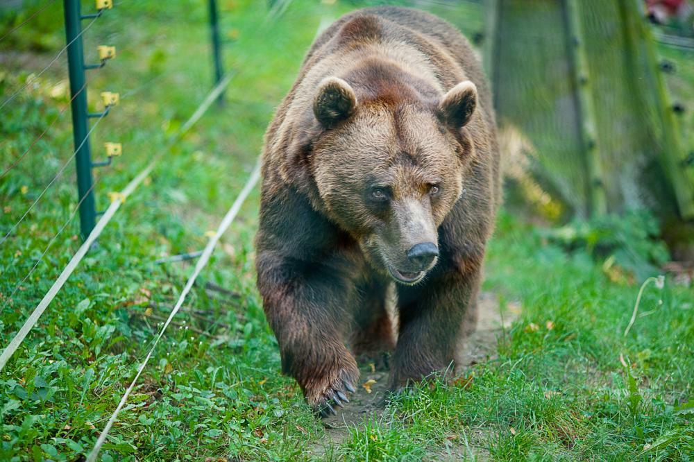 Tierpark Olderdissen Bielefeld: Affen, Bären, Elche, Rehe, Esel, Rinder, Bison, Rothirsch, Braunbär, Auerhahn, Pfau, Eulen, Wisent, Wildschweine, Hirschwild, Rotwild, Heimtiere, Wildtiere,  Öffnungszeiten, Anfahrt, Eintritt, Tiere, Restaurantbrown-bear-on-the-nature