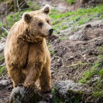brown-bear-ursus-arctos (1)