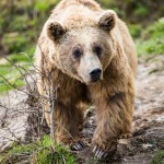 brown-bear-ursus-arctos