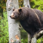 brown-bear-ursus-arctos (2)