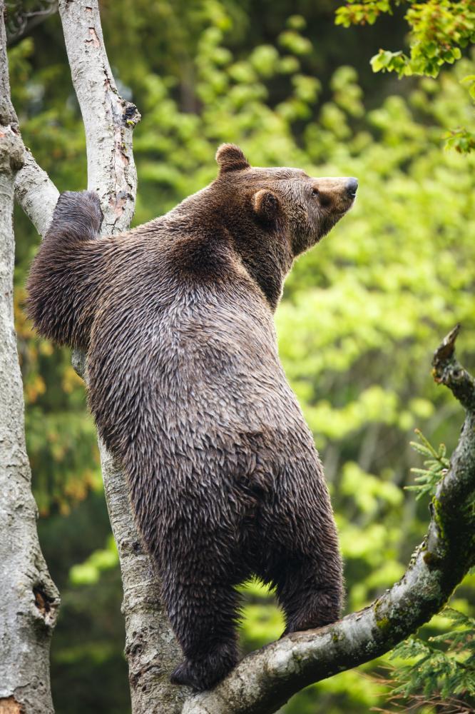 Tierpark Olderdissen Bielefeld: Affen, Bären, Elche, Rehe, Esel, Rinder, Bison, Rothirsch, Braunbär, Auerhahn, Pfau, Eulen, Wisent, Wildschweine, Hirschwild, Rotwild, Heimtiere, Wildtiere,  Öffnungszeiten, Anfahrt, Eintritt, Tiere, Restaurantbrown-bear-ursus-arctos (3)
