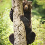 brown-bear-ursus-arctos (4)