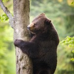 brown-bear-ursus-arctos (5)
