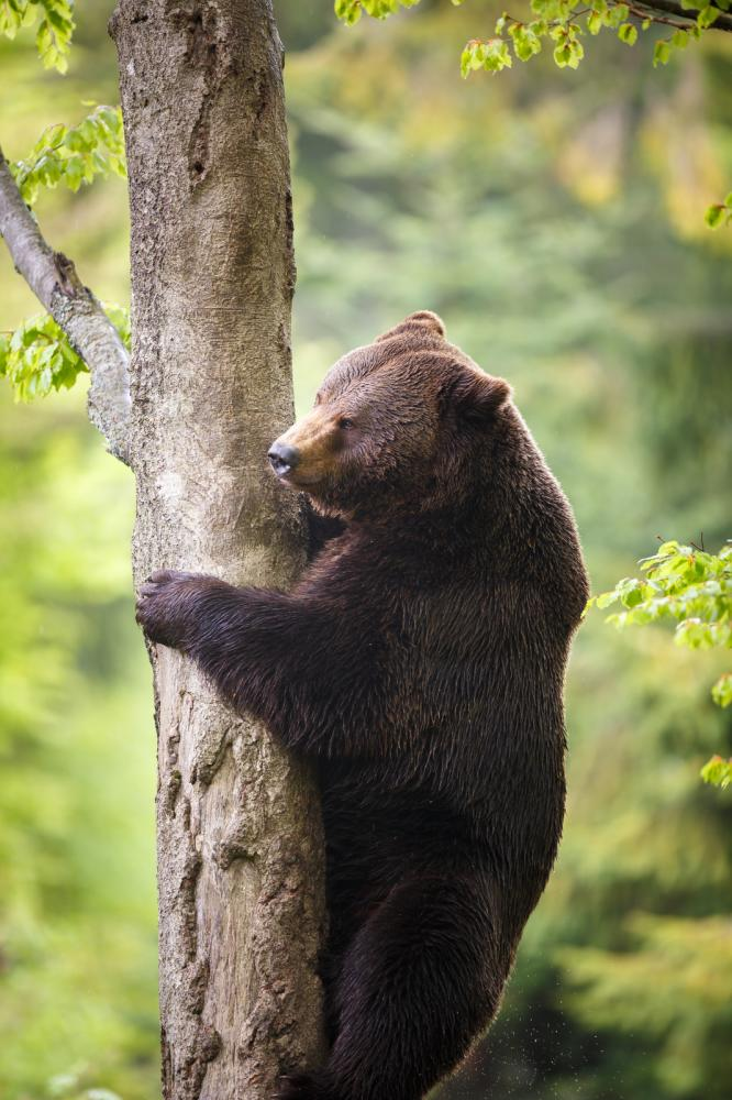Tierpark Olderdissen Bielefeld: Affen, Bären, Elche, Rehe, Esel, Rinder, Bison, Rothirsch, Braunbär, Auerhahn, Pfau, Eulen, Wisent, Wildschweine, Hirschwild, Rotwild, Heimtiere, Wildtiere,  Öffnungszeiten, Anfahrt, Eintritt, Tiere, Restaurantbrown-bear-ursus-arctos (5)