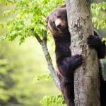 brown-bear-ursus-arctos (6)