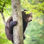 brown-bear-ursus-arctos-climbing