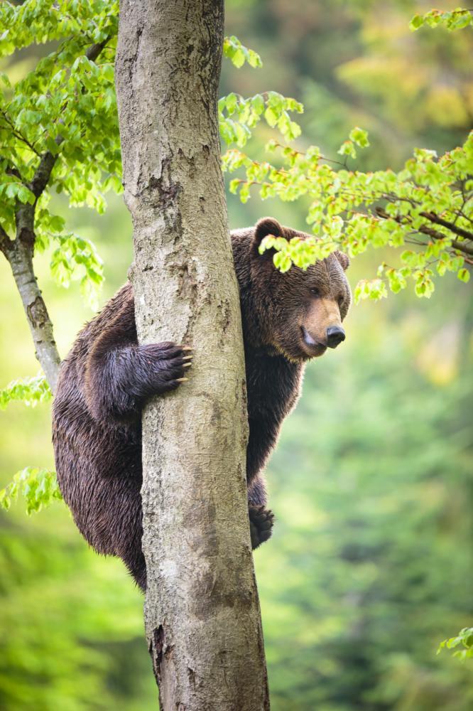 Tierpark Olderdissen Bielefeld: Affen, Bären, Elche, Rehe, Esel, Rinder, Bison, Rothirsch, Braunbär, Auerhahn, Pfau, Eulen, Wisent, Wildschweine, Hirschwild, Rotwild, Heimtiere, Wildtiere,  Öffnungszeiten, Anfahrt, Eintritt, Tiere, Restaurantbrown-bear-ursus-arctos-climbing