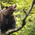 brown-bear-ursus-arctos-sitting-on-a-tree-screaming-loudly