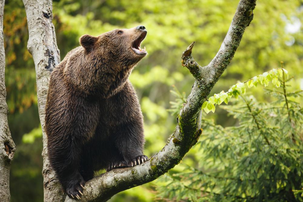 Tierpark Olderdissen Bielefeld: Affen, Bären, Elche, Rehe, Esel, Rinder, Bison, Rothirsch, Braunbär, Auerhahn, Pfau, Eulen, Wisent, Wildschweine, Hirschwild, Rotwild, Heimtiere, Wildtiere,  Öffnungszeiten, Anfahrt, Eintritt, Tiere, Restaurantbrown-bear-ursus-arctos-sitting-on-a-tree-screaming-loudly