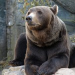 brown-grizzly-bear (1)