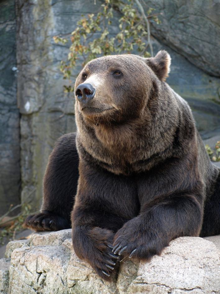 Tierpark Olderdissen Bielefeld: Affen, Bären, Elche, Rehe, Esel, Rinder, Bison, Rothirsch, Braunbär, Auerhahn, Pfau, Eulen, Wisent, Wildschweine, Hirschwild, Rotwild, Heimtiere, Wildtiere,  Öffnungszeiten, Anfahrt, Eintritt, Tiere, Restaurantbrown-grizzly-bear (1)