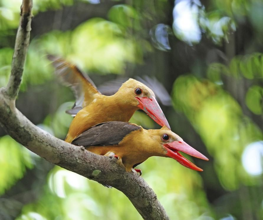 brown-winged-kingfisher