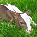 calf-in-spring-lying-on-green-grass