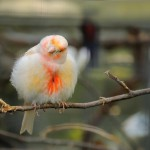 canary-bird-on-tree (2)