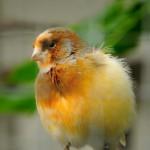 canary-bird-on-tree (3)