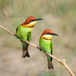 chestnut-headed-bee-eater
