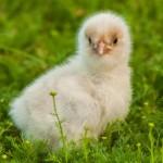chick (1)