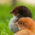 chick (4)