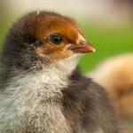 chick (5)