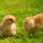 chicken (1)