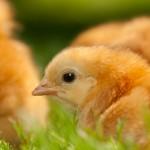 chicken (15)