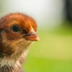 chicken (16)