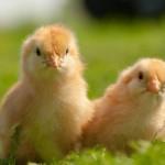 chicken (3)