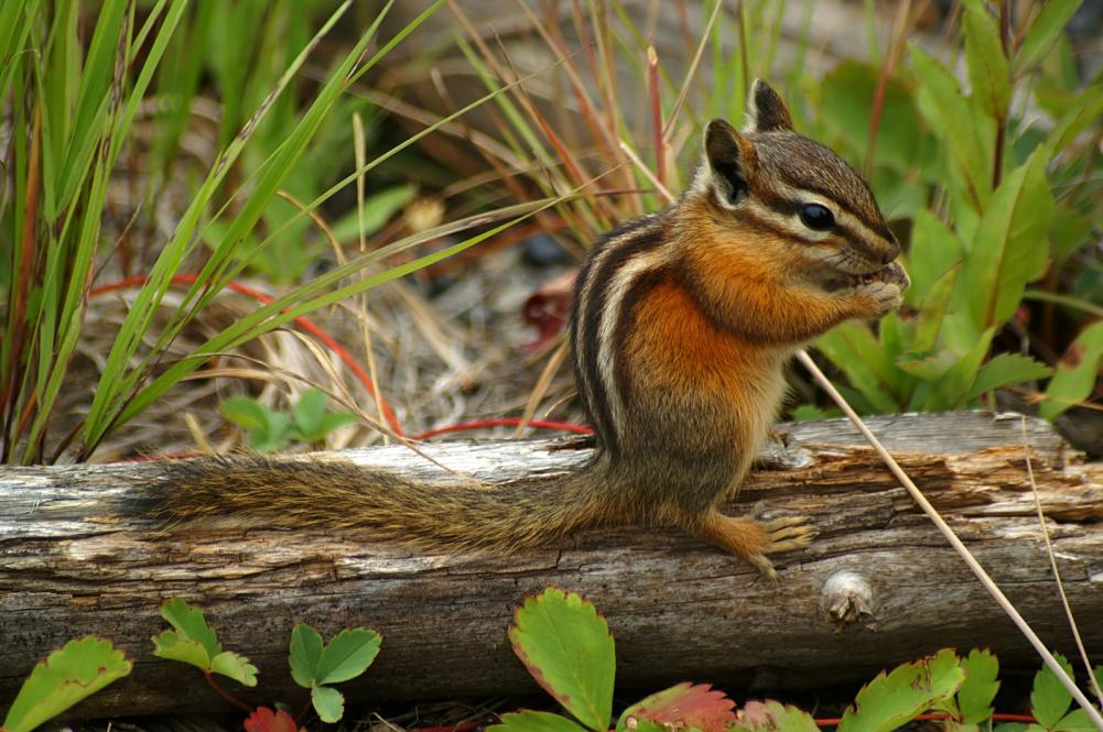 chipmunk-in-natural-environment