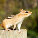 chipmunk-on-a-post