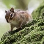 chipmunk-on-a-tree