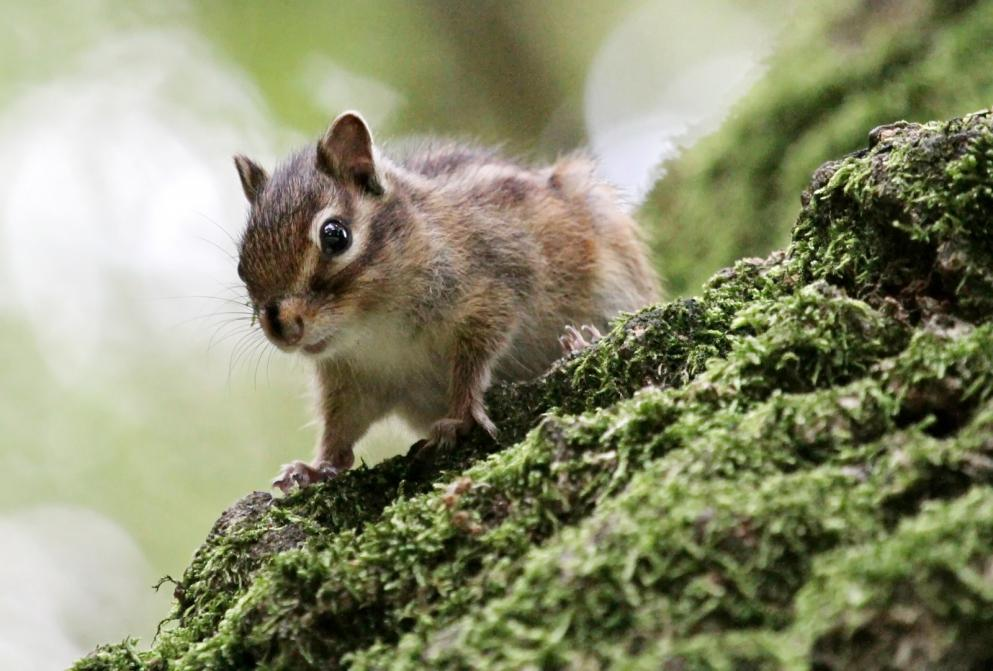 chipmunk-on-a-tree
