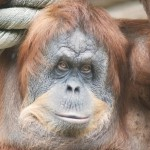 close-up-of-a-huge-female-orangutan