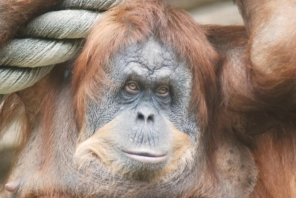 Tierpark Olderdissen Bielefeld: Affen, Bären, Elche, Rehe, Esel, Rinder, Bison, Rothirsch, Braunbär, Auerhahn, Pfau, Eulen, Wisent, Wildschweine, Hirschwild, Rotwild, Heimtiere, Wildtiere,  Öffnungszeiten, Anfahrt, Eintritt, Tiere, Restaurantclose-up-of-a-huge-female-orangutan