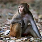 close-up-of-a-rhesus-monkey