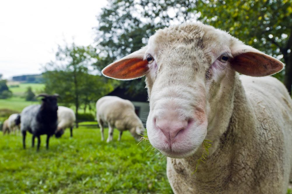 close-up-shoot-of-a-sheep-on-a-lawn-the-herd