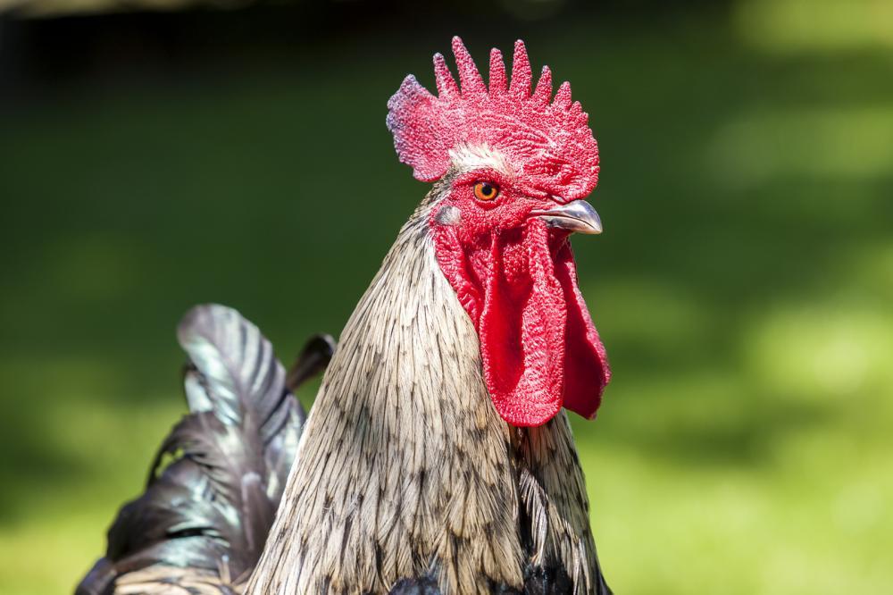 cock-head