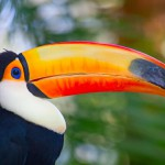 colorful-tucan (1)