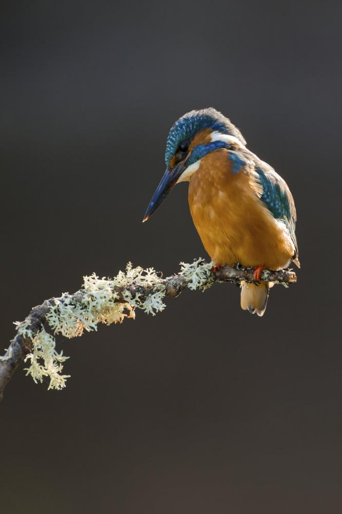 common-kingfisher-perched-on-branch