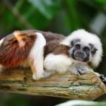 cotton-top-monkey