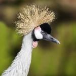 crowned-crane