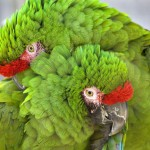 cuddling-green-military-macaws