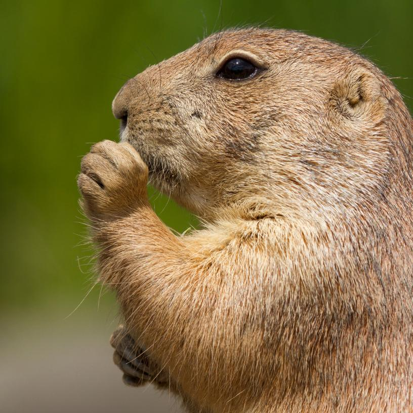 cute-prairie-dog-eating (1)
