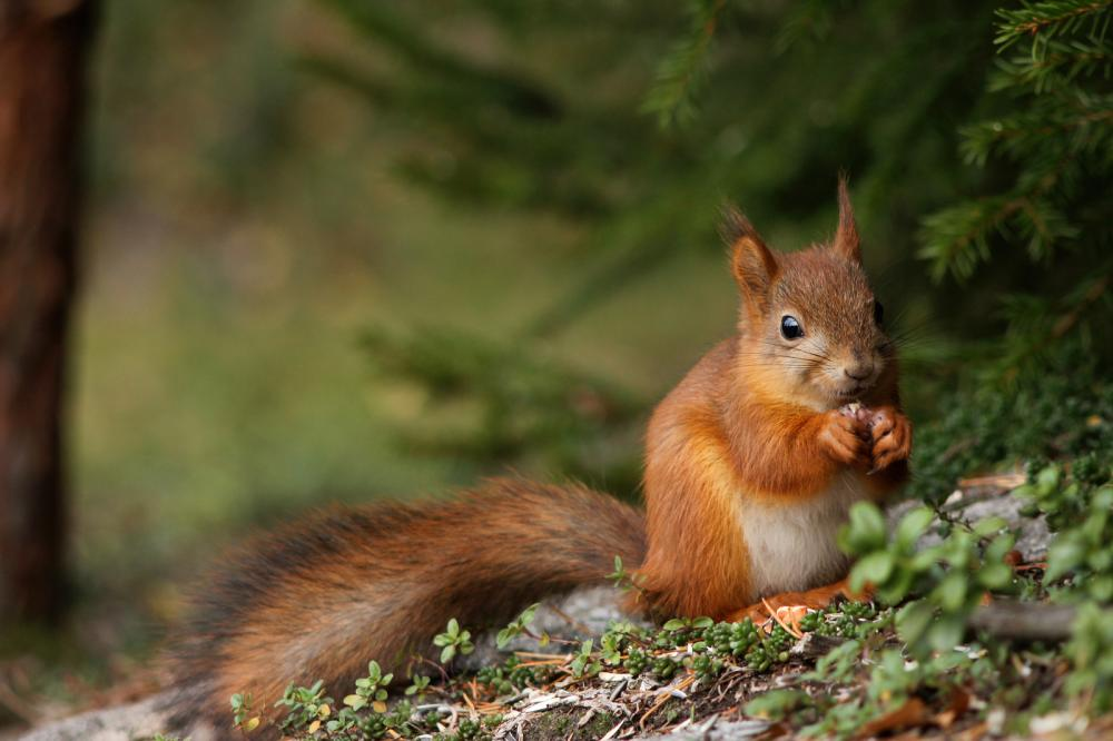cute-red-squirrel-in-forest