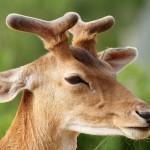 deer-with-growing-antlers
