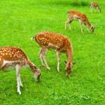 deers (1)