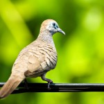 dove-on-the-wire