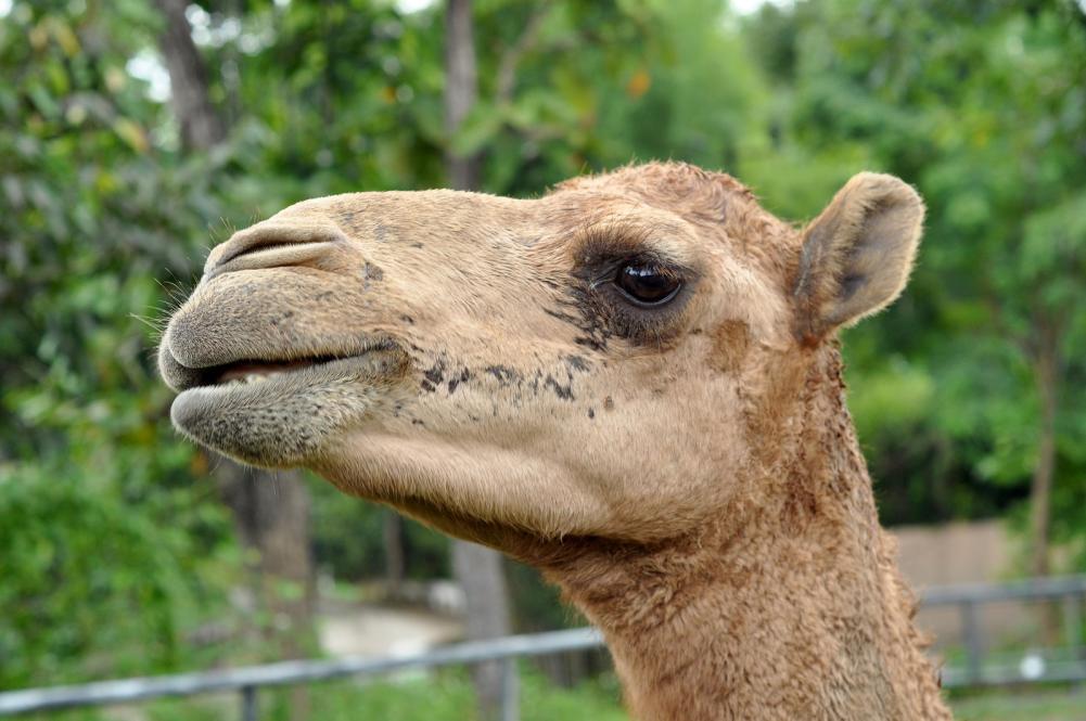 Tierpark Olderdissen Bielefeld: Affen, Bären, Elche, Rehe, Esel, Rinder, Bison, Rothirsch, Braunbär, Auerhahn, Pfau, Eulen, Wisent, Wildschweine, Hirschwild, Rotwild, Heimtiere, Wildtiere,  Öffnungszeiten, Anfahrt, Eintritt, Tiere, Restaurantdromedary-camel