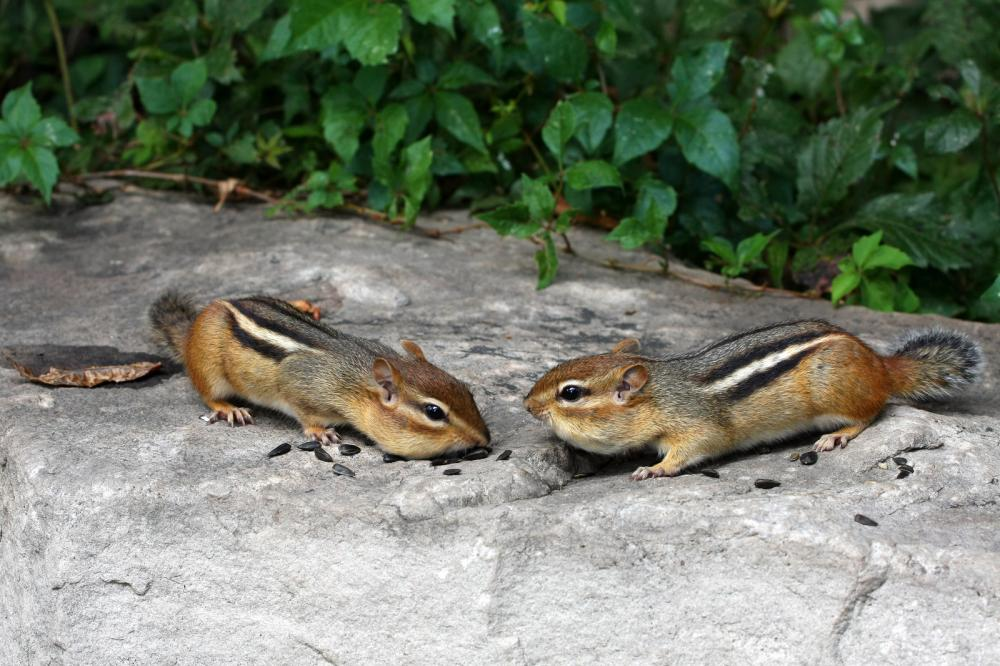 eastern-chipmunk-tamias-striatus