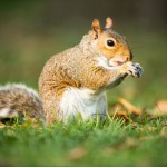 eastern-grey-squirrel-sciurus-carolinensis-eating-a-nut